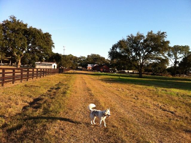 Medium-size white dog with black spots walking on the farm