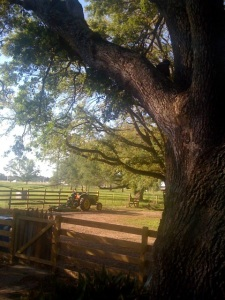 A fence, live oak, and a tractor